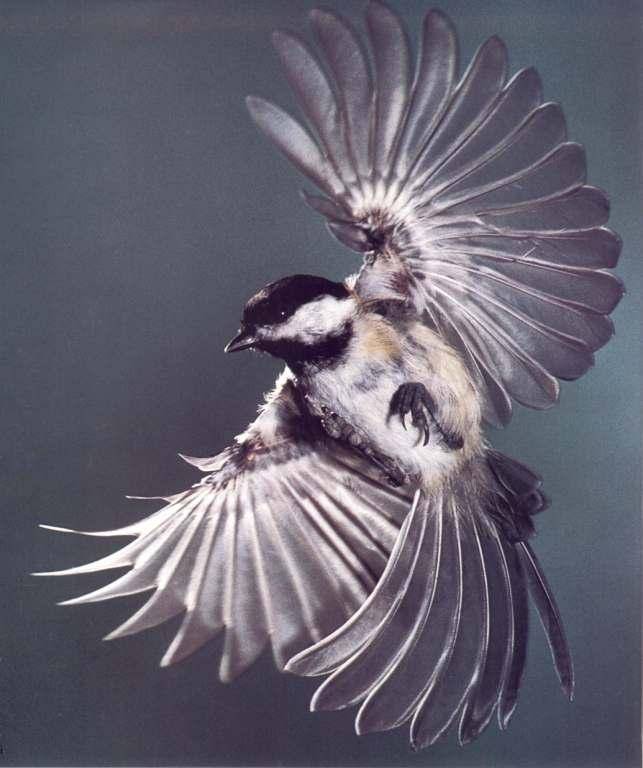 Животни - Page 5 Chickadee